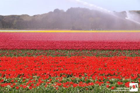Pays-Bas – Egmond aan den Hoef