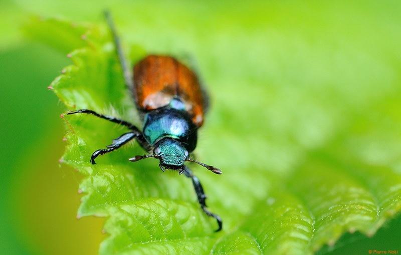 Coleoptera Anisoplia villosa