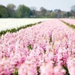 Pays-Bas – Champs de jacinthes