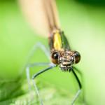 Macro – Calopteryx virgo