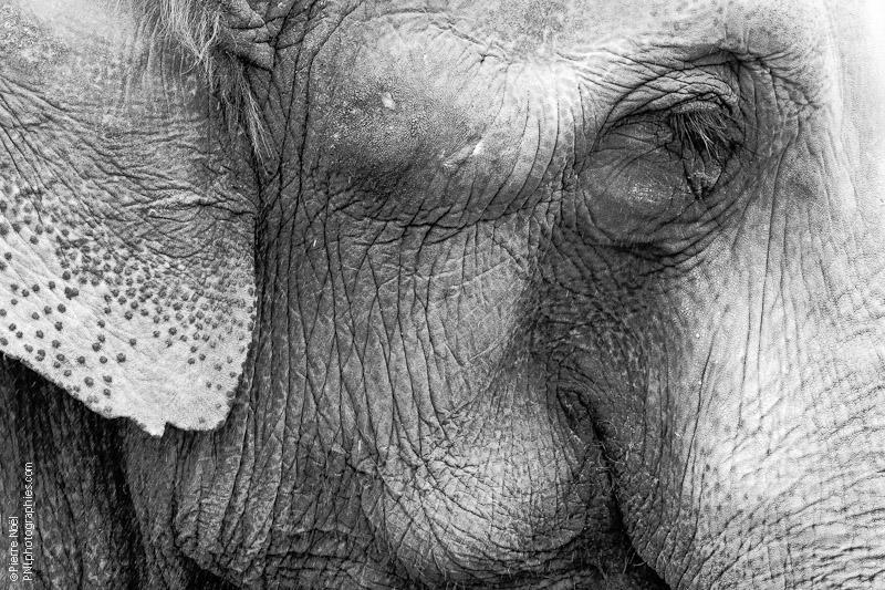 Eléphant - Texture