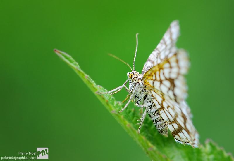 Faune : Scotopteryx bipunctaria